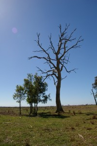 Symbolic Redgum at Heart Morass 2007