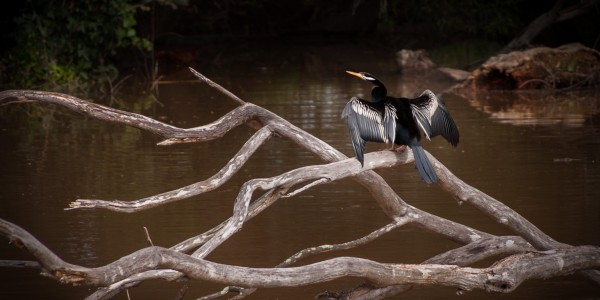 A darter watches over things on the Macalister River