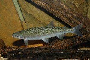 A picture of the Australian Grayling underwater