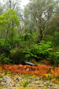 Ferns and foliage near the Thomson River