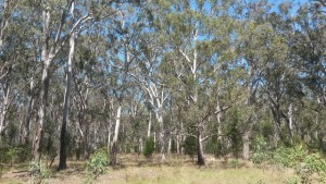 Grassy Woodland Gippsland Red Gum patch