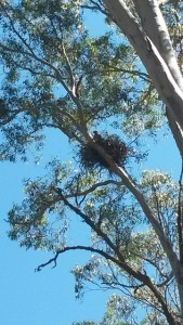 Grassy Woodland bird nesting in red gum tree