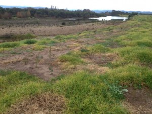 Revegetation on the Avon River