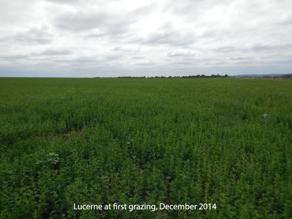 Lucerne at first grazing, December 2014