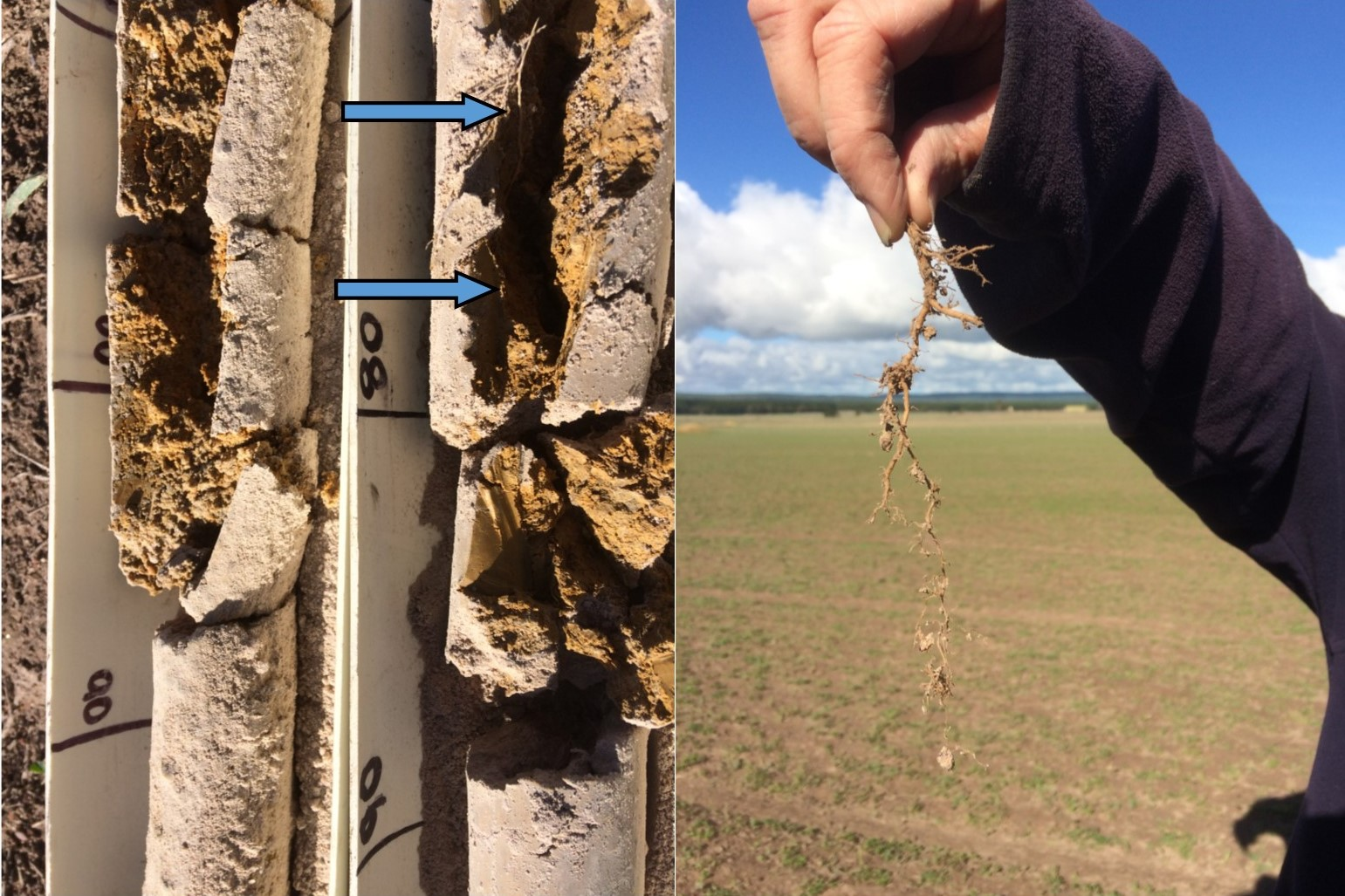 Two soil core samples and a sample of the lucerne roots