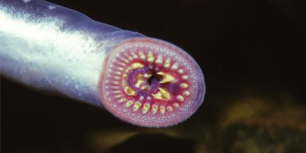 The oral disc of the Shorthead lamprey, photo by Dr Michael Hammer
