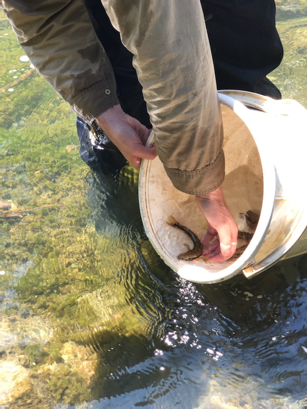 Tupong in a bucket being released back into the river