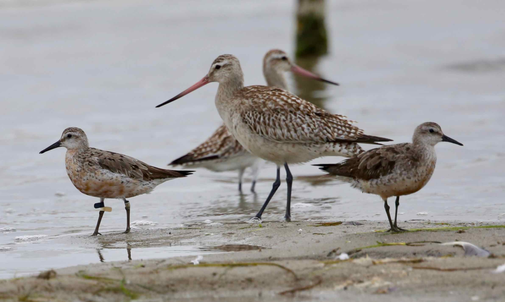 Flagged Red-knot photo taken by J. Hutchison